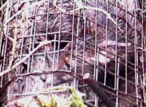 caged fox(still from video) MJH